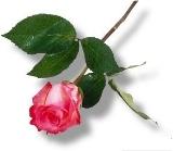 Rose ... Rinduku ...